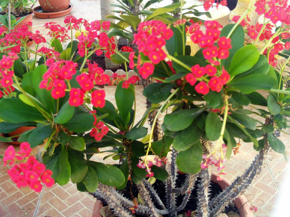 Bisnis taman hias Euphorbia dimasa pandemi