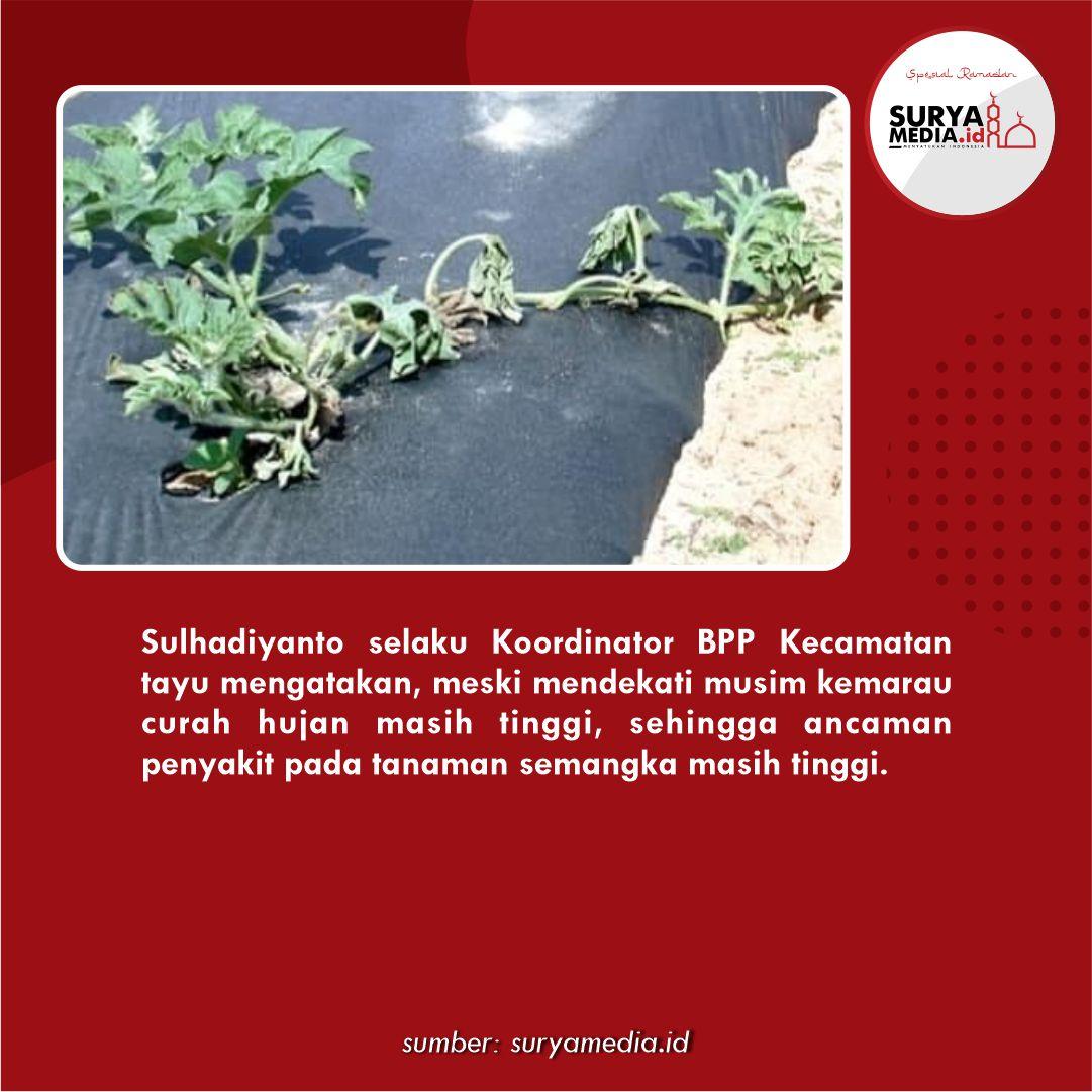 Hujan Masih Turun, Waspada Hama dan Penyakit Tanaman Semangka c