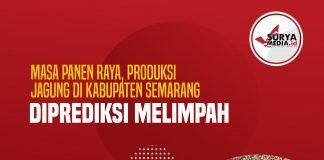 Masa Panen Raya, Produksi Jagung di Kabupaten Semarang Diprediksi Melimpah